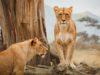 leoni in parco tanzania